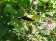 American Goldfinch eating thistle seeds. Photo by Will Sweet (Wikipedia)