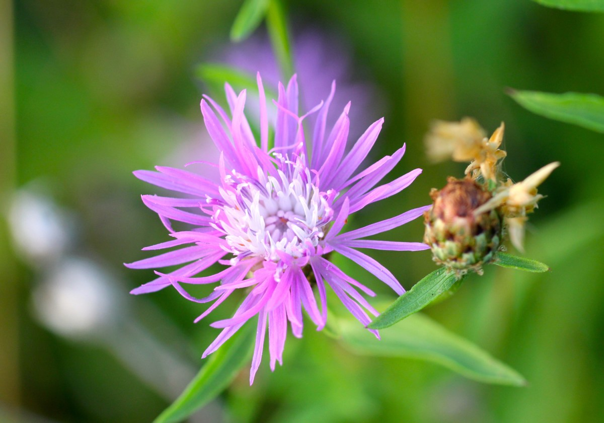 Knapweed Virginia Wildflowers