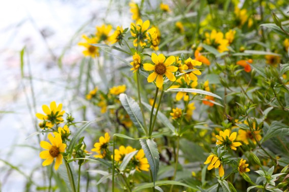 Nodding Bur Marigolds growing by a pond