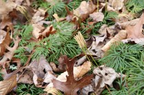Strobili of ground cedar in winter