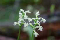 Small Green Woodland Orchid- note the lower lip has three lobes