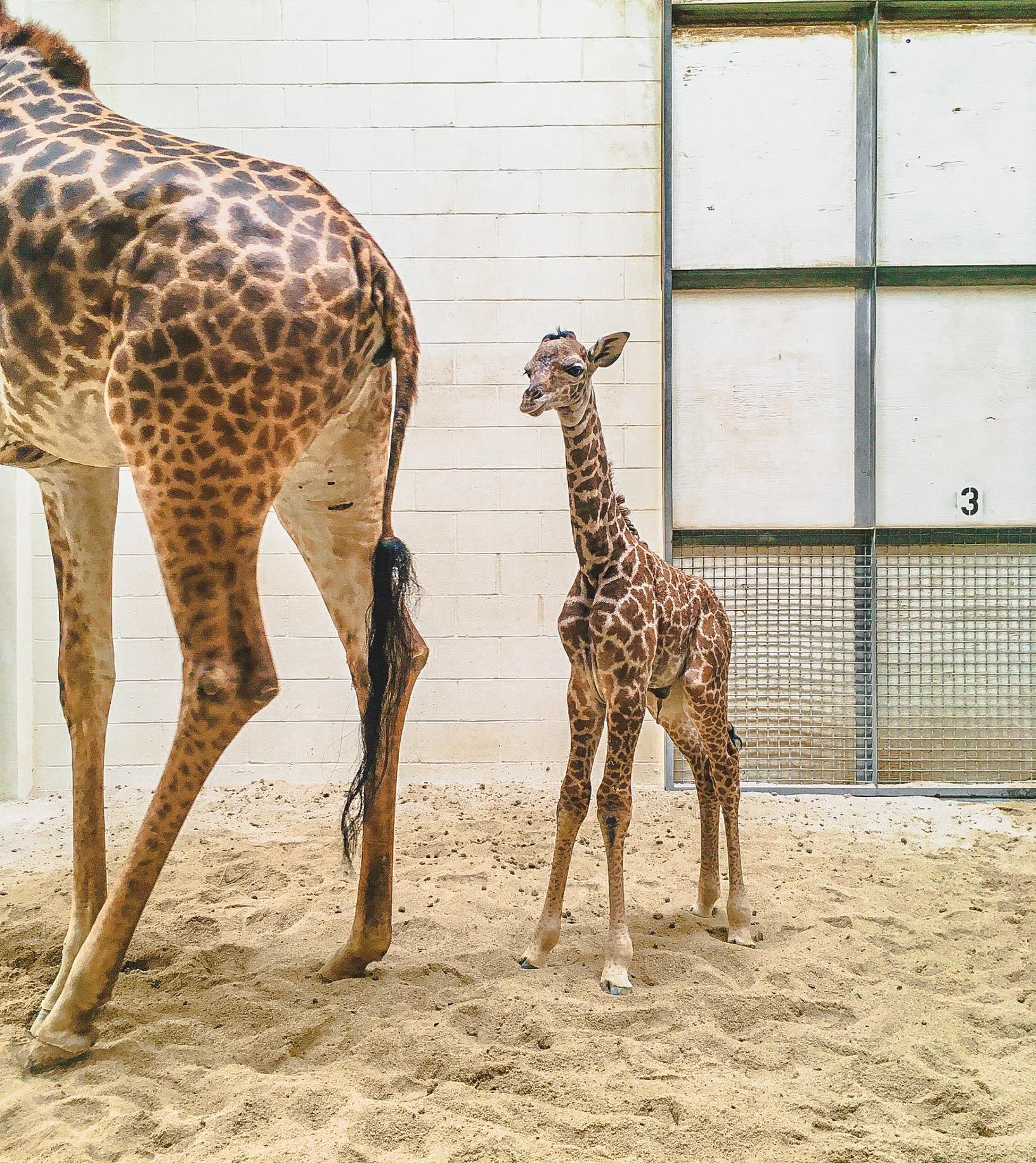 newborn giraffe calf standing next to mom