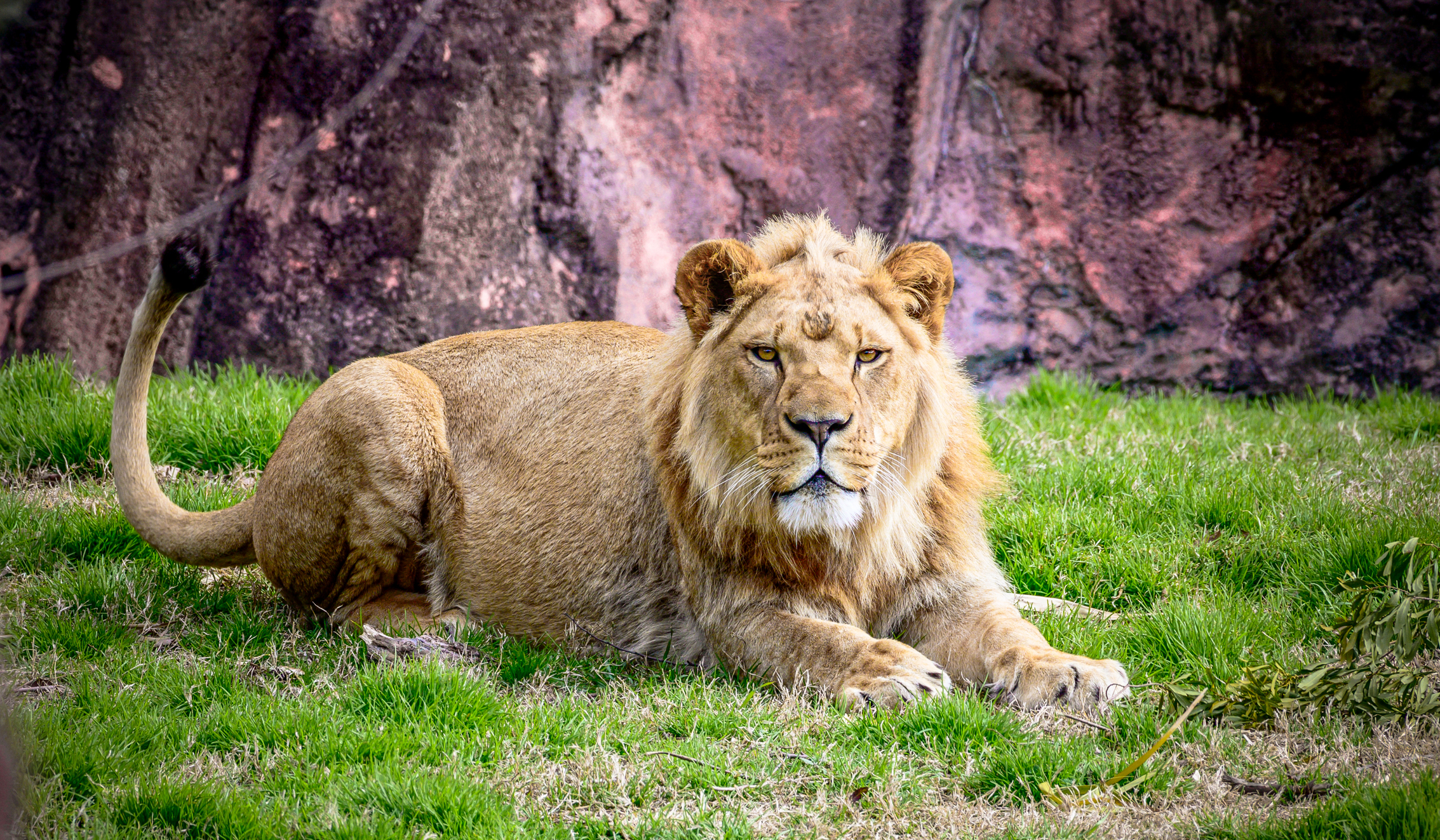 lion laying on ground