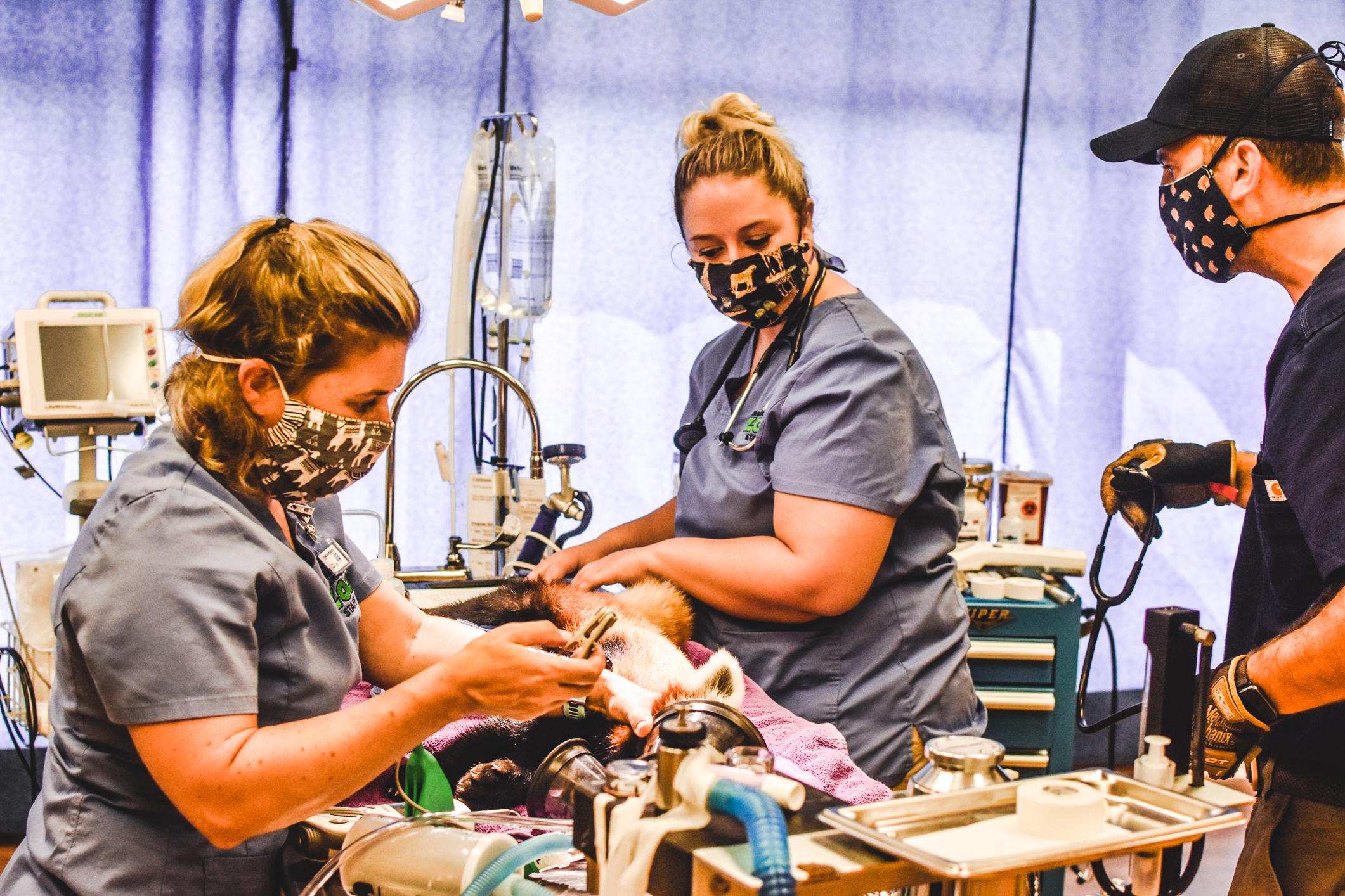 masked vet staff examine anesthetized red panda