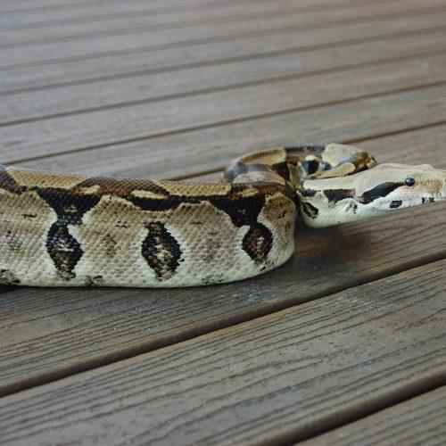 Common Boa Constrictor