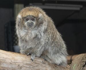 Female fluffy titi monkey sitting on branch