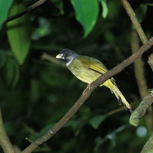 Collared Finch Billed Bulbul at the Virginia Zoo