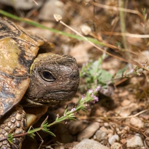 Hermann's Tortoise at the Virginia Zoo