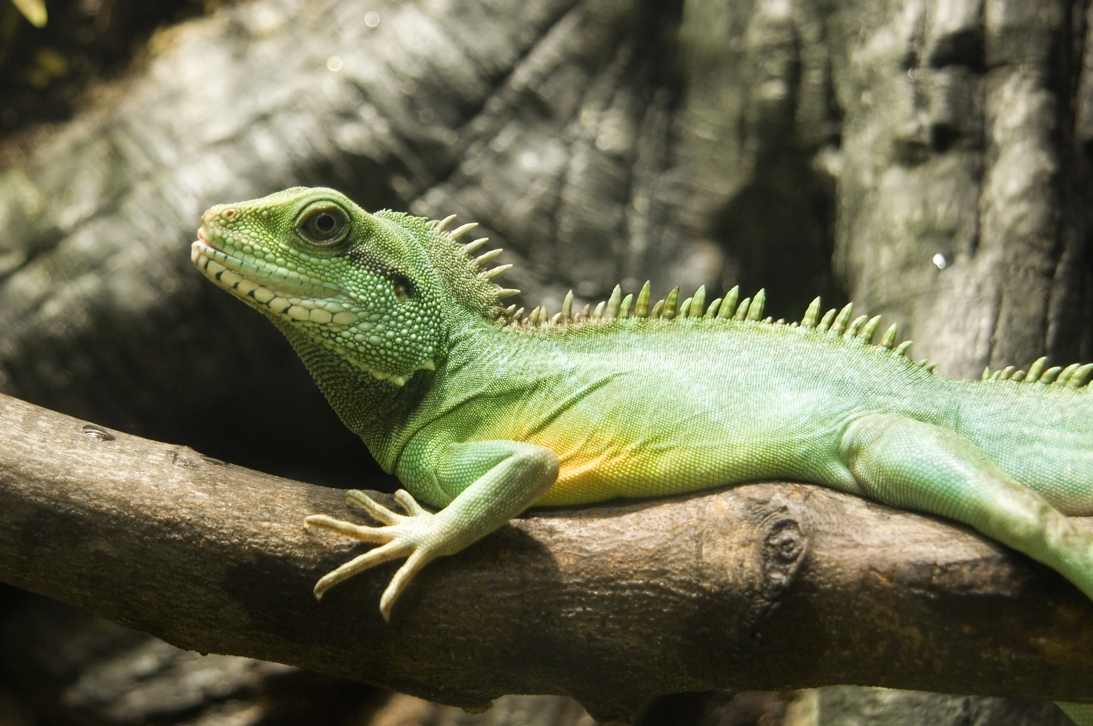 A Chinese Water Dragon at the Virginia Zoo