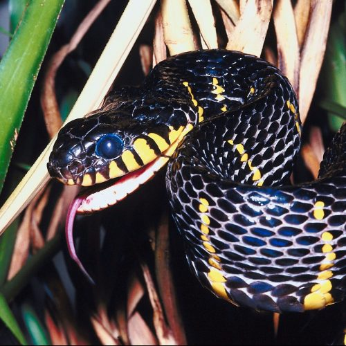 Mangrove Snake living at the Virginia Zoo.
