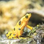 Panamanian golden frog thrives at the Virginia Zoo