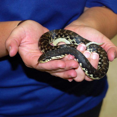 The Madagascar Hognose Snake
