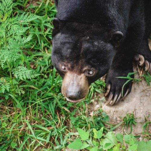 Malayan Sun Bear the the Virginia Zoo