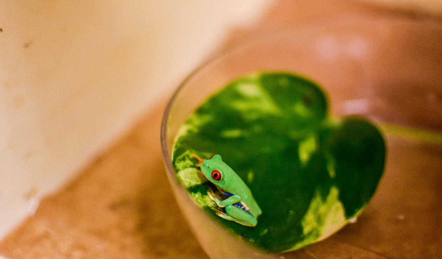 Red Eye Tree Frog at the Virginia Zoo