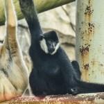 White Cheeked Gibbon at the Virginia Zoo