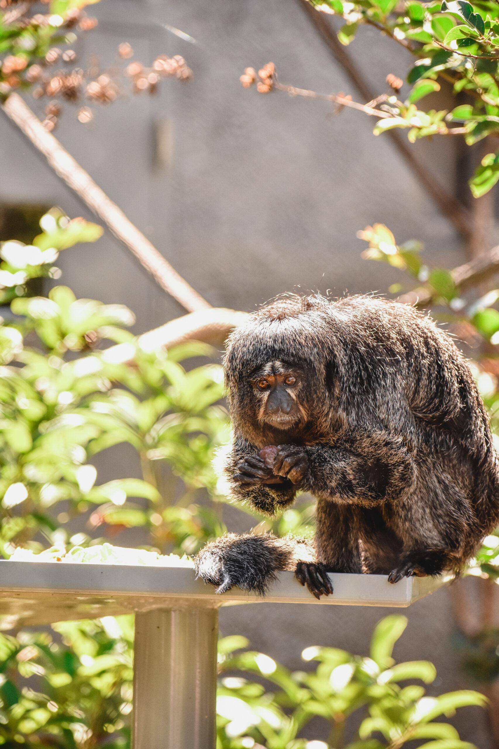 Female saki monkey sitting on a branch