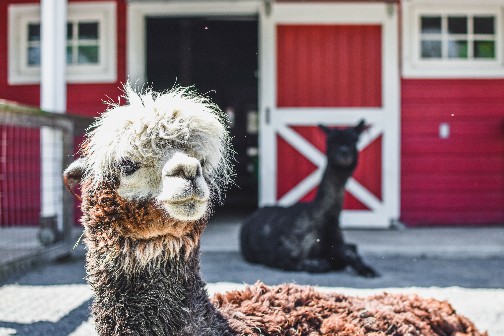 Red alpaca with black alpca in the distance