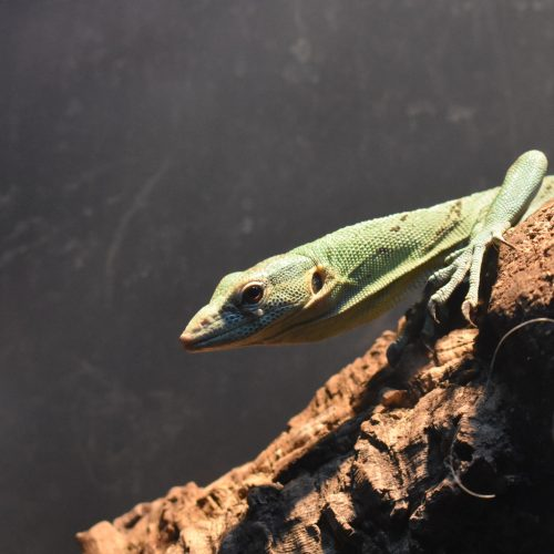 green tree monitor on branch