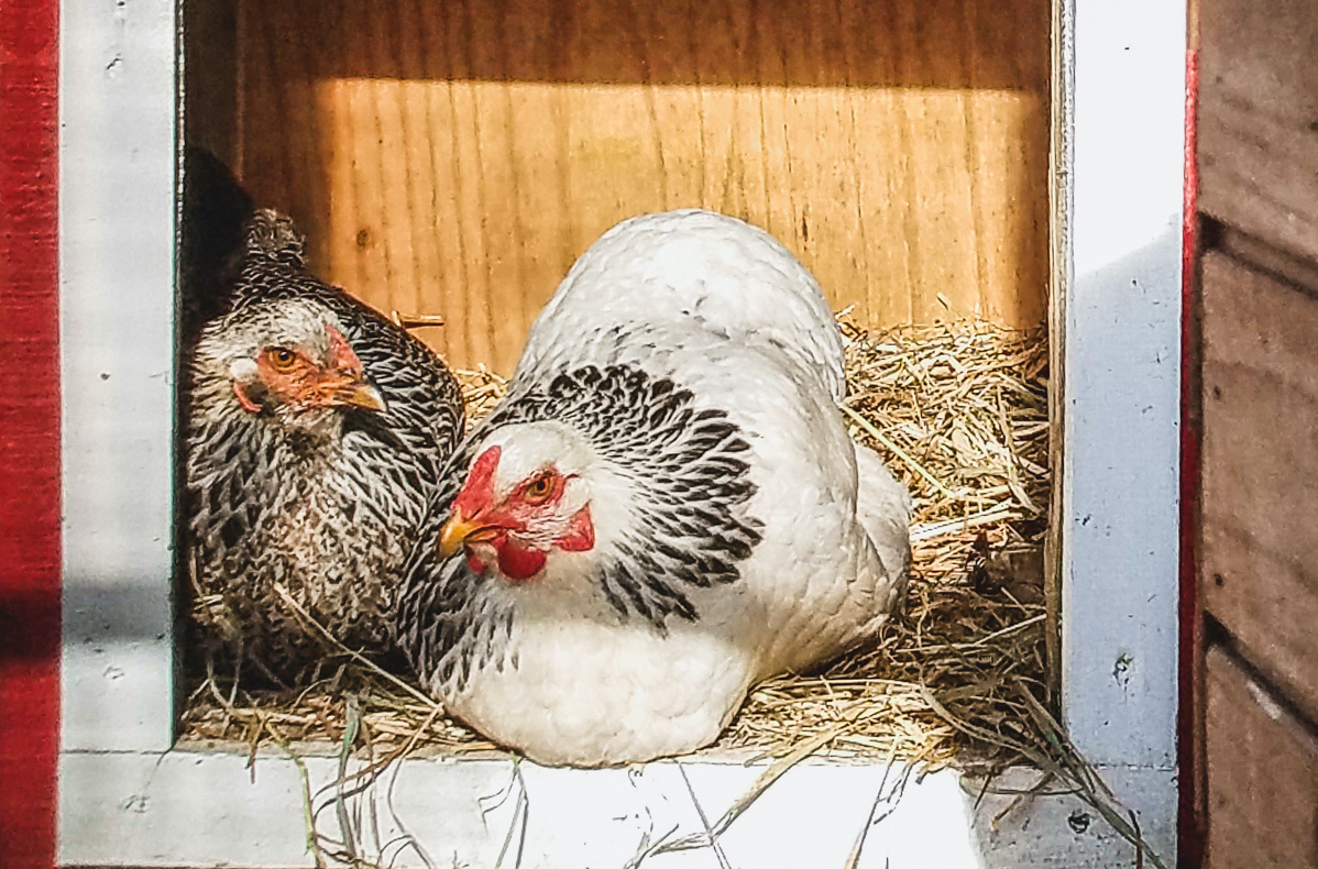 Chickens are roosting at the Virginia Zoo.