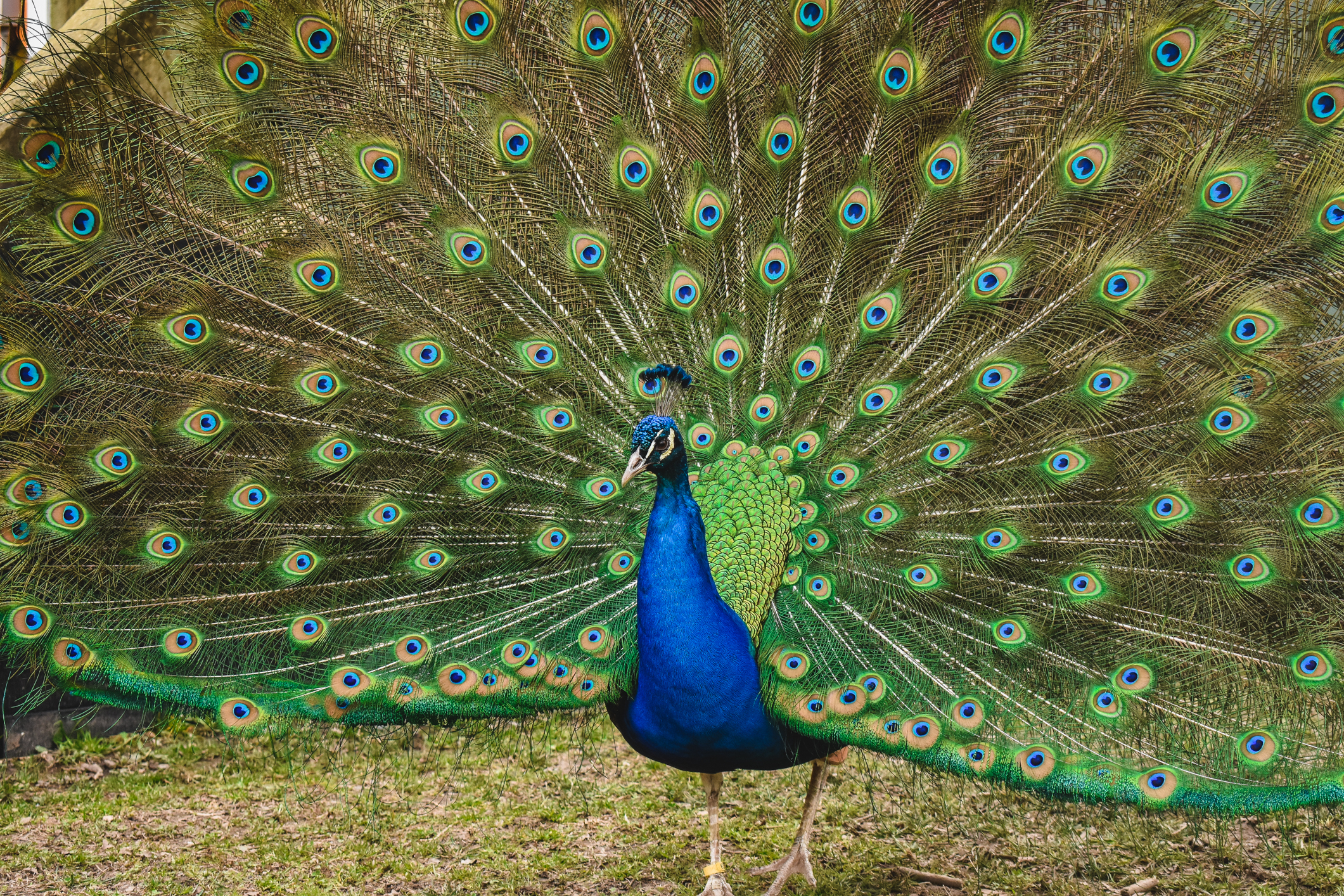 Common Peafowl fanning its feathers at the Virginia Zoo