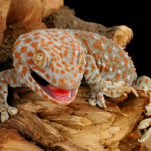 Tokay Gecko smiling for the camera at the Virginia Zoo.