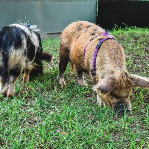 Kunekune Pigs grazing at the Virginia Zoo.