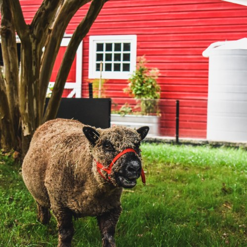 Southdown Babydoll Sheep living on the Farm at the Virginia Zoo