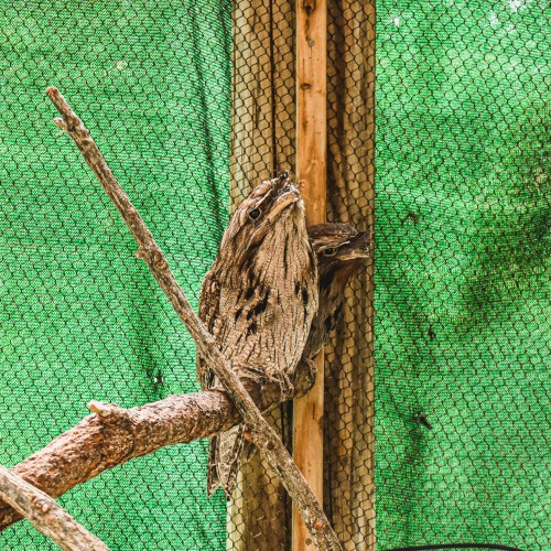 A Tawny Frogmouth hanging out at the Virginia Zoo