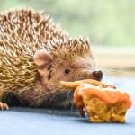 A Tenrec eating at the Virginia Zoo