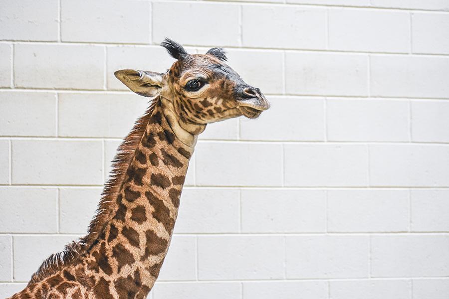 close up of newborn giraffe calf