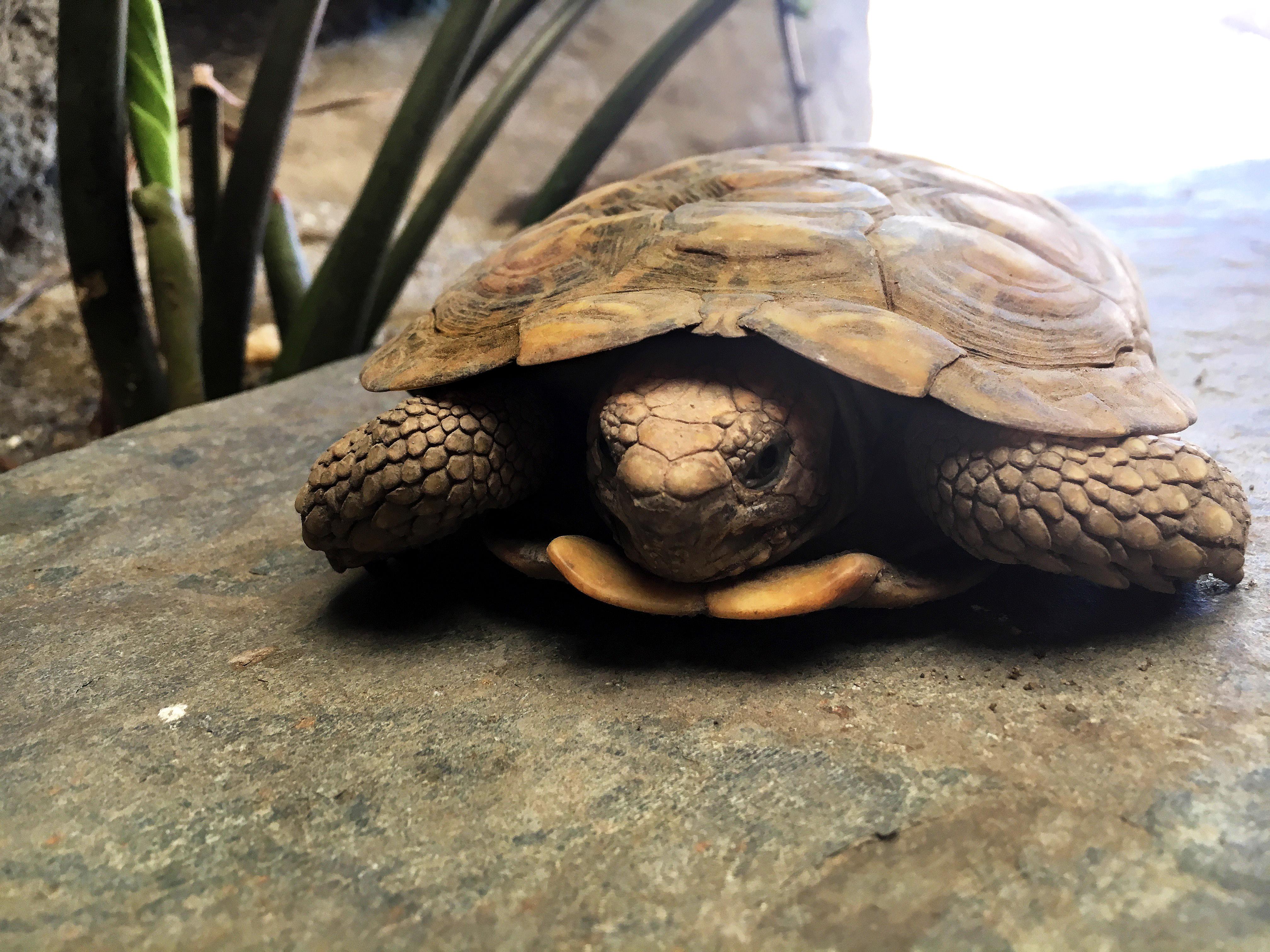 up-close shot of pancake tortoise on rock surface
