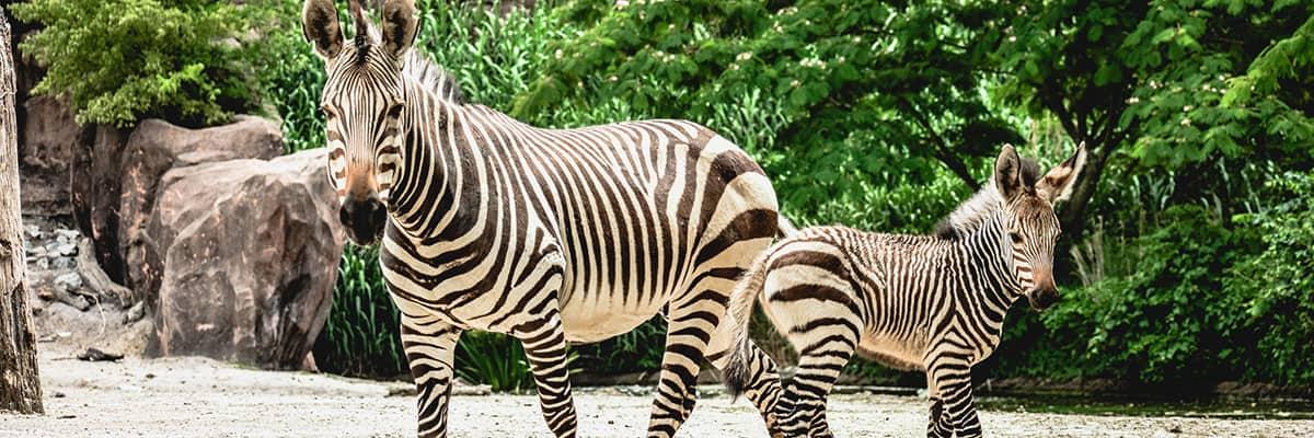 zebras banner