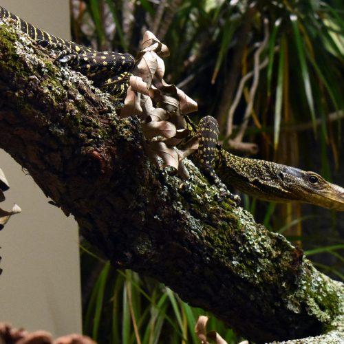 crocodile monitor on log