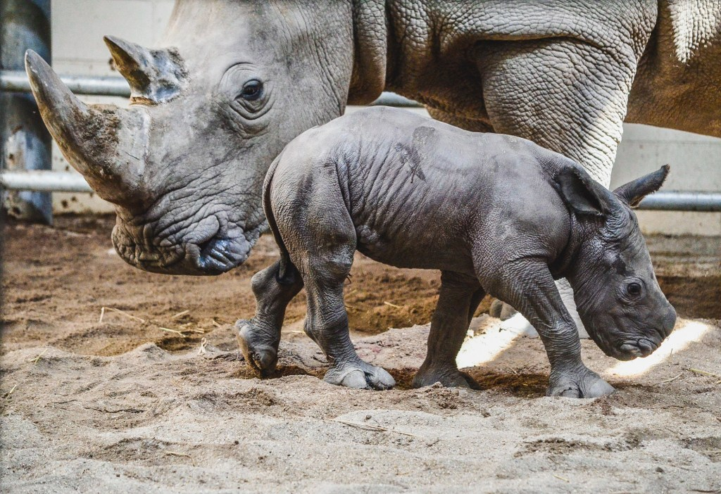 white rhino calf stands in front of his mother
