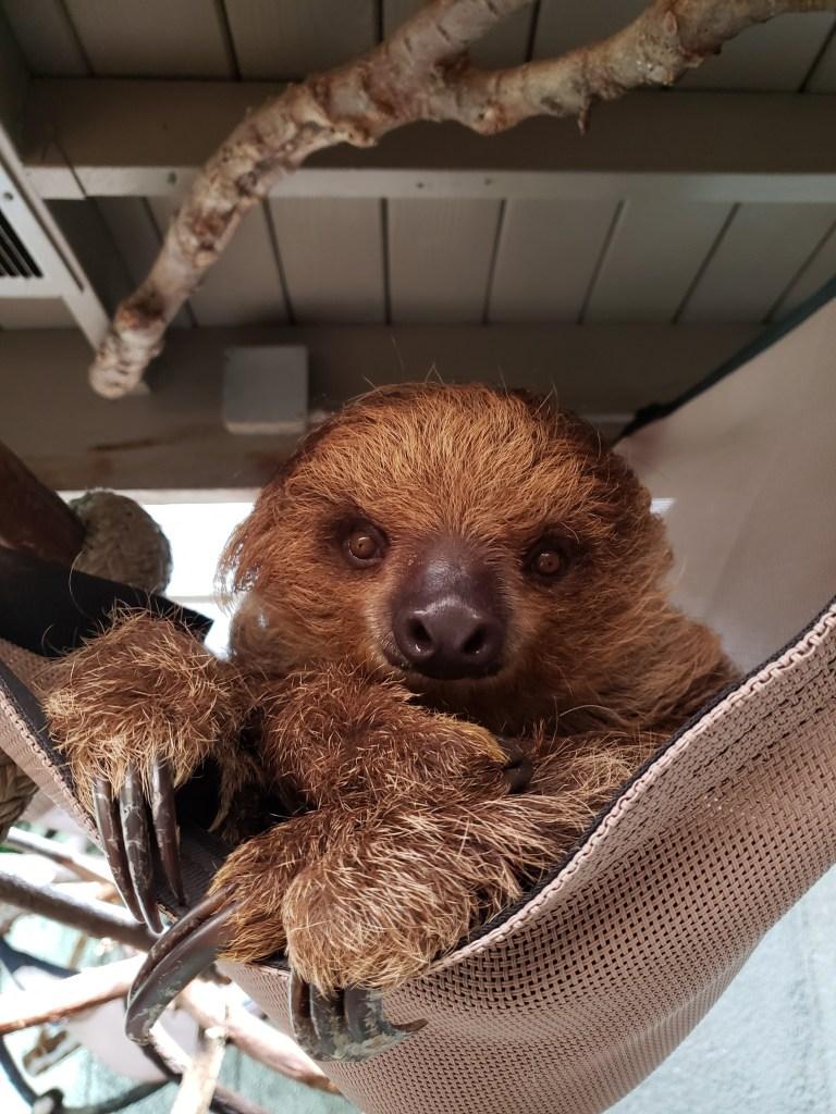 sloth sitting in a hammock