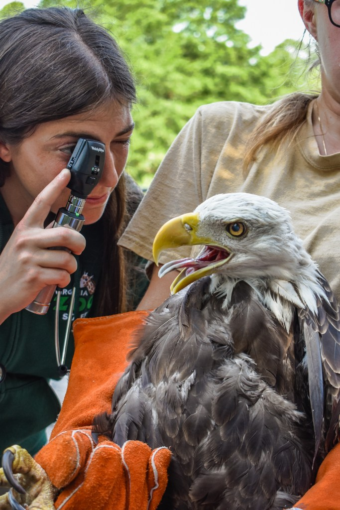 Zoo Vet uses Ophthalmoscope to look into eagle's eye