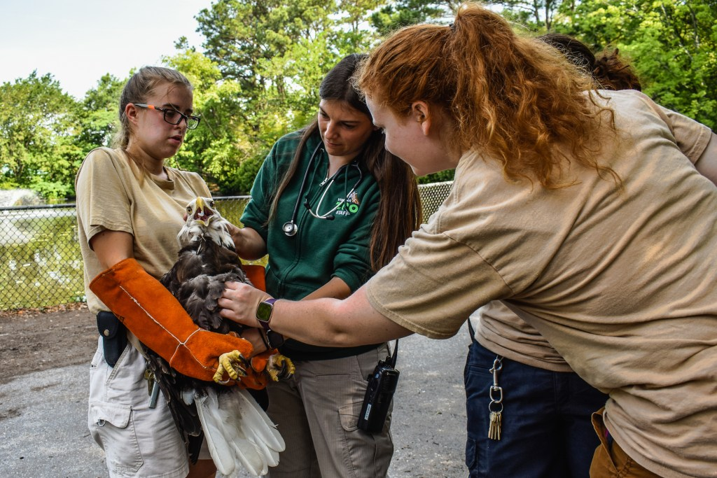 Keeper holds bald eagle while Vet and Keeper feel bird's torso