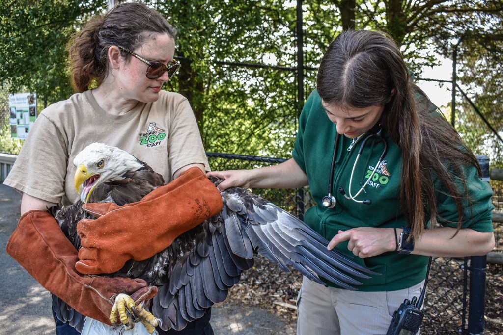 Zoo vet inspects eagle's wing