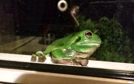 Treefrog looking at me through the kitchen window