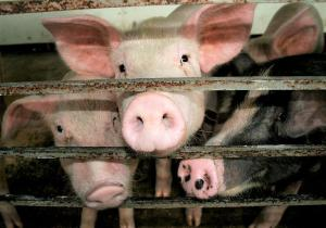 Emerging flu virus in Chinese pigs has pandemic potential, researchers say