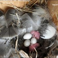 TREE SWALLOWS HATCHING!
