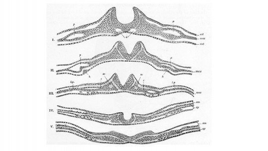 Neurulation: the process of neural tube formation 【NUOVO】