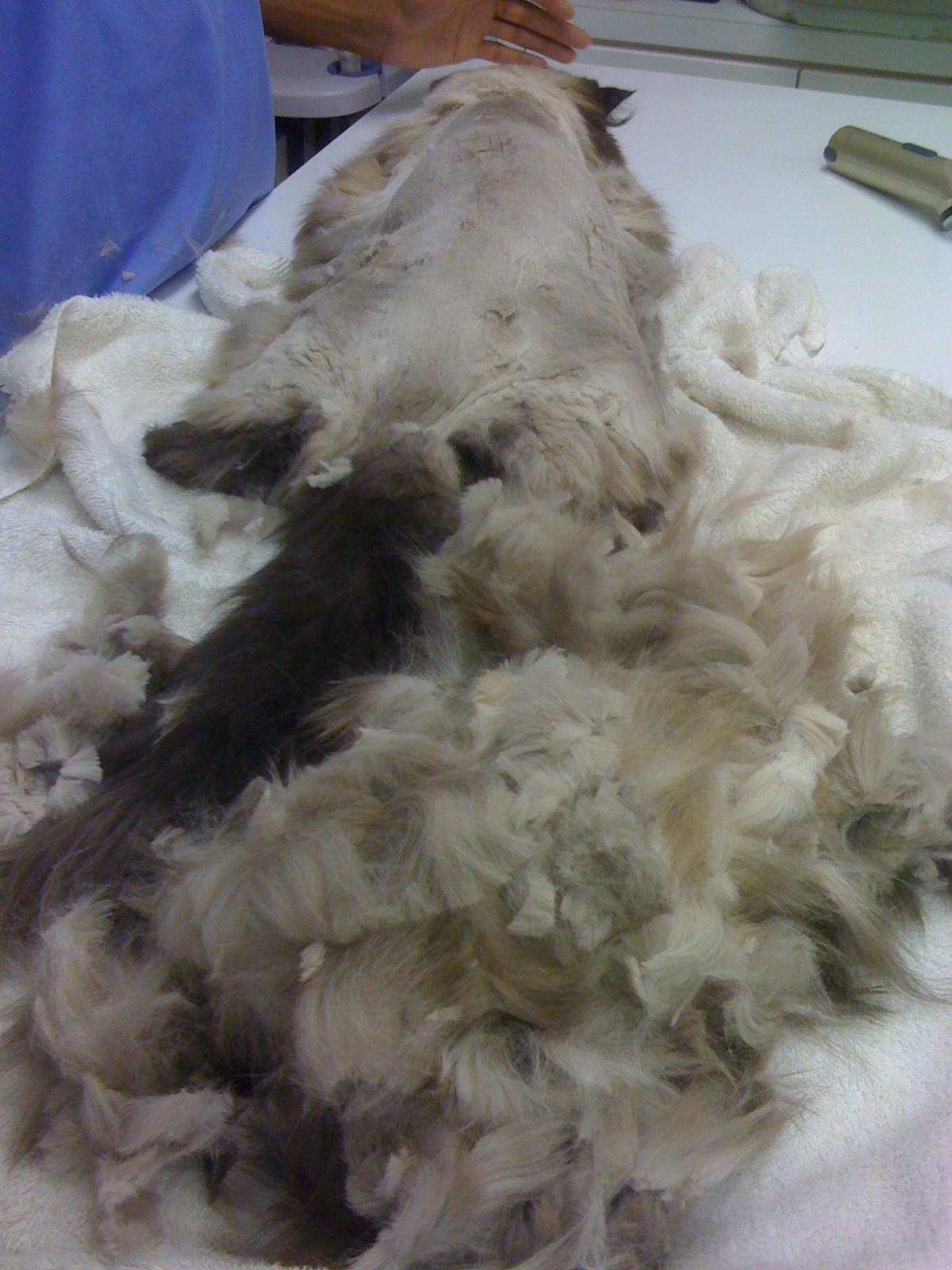 The Case For Shaving A Long Haired Cat VirtuaVet