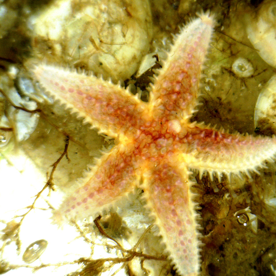 hight resolution of common sea star asterias rubens small specimen on a virtue disc