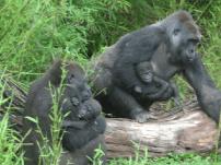 gorilinhas