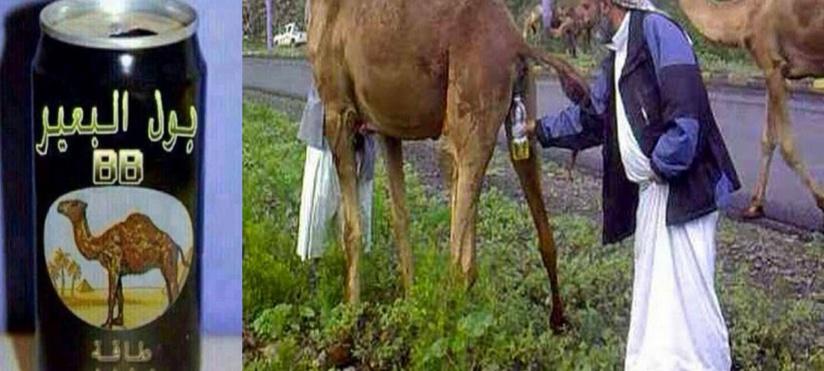 L'OMS appelle les arabes à cesser de boire 'l'urine de Chameau'