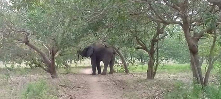 Banikoara: Un éléphant blesse un jeune bouvier et tue une dame