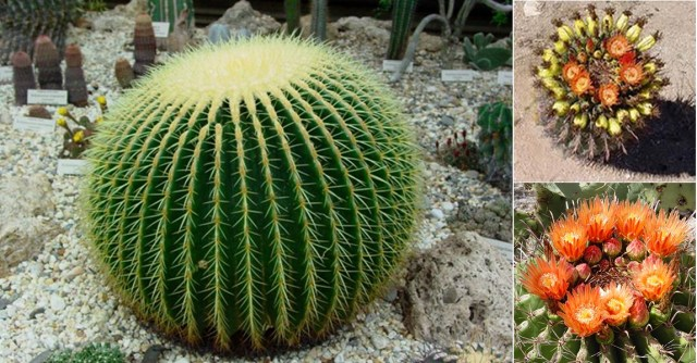 Candy Barrel Cactus