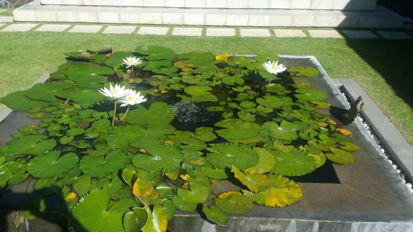 Water Lillies in Villa Mata Air