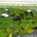Water Lillies in Villa Mata Air